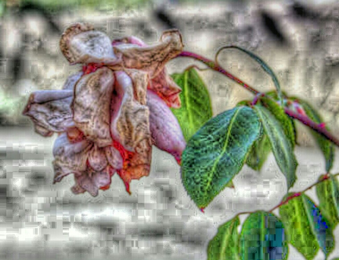 Flowers Sadflowers Nature Died Died Flowers Wilted Flower Wilted Rose Wiltedrose Wiltedlife