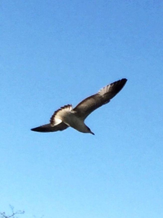 Seagull Flying Bird Seagulls In Flight Animal Themes Spread Wings