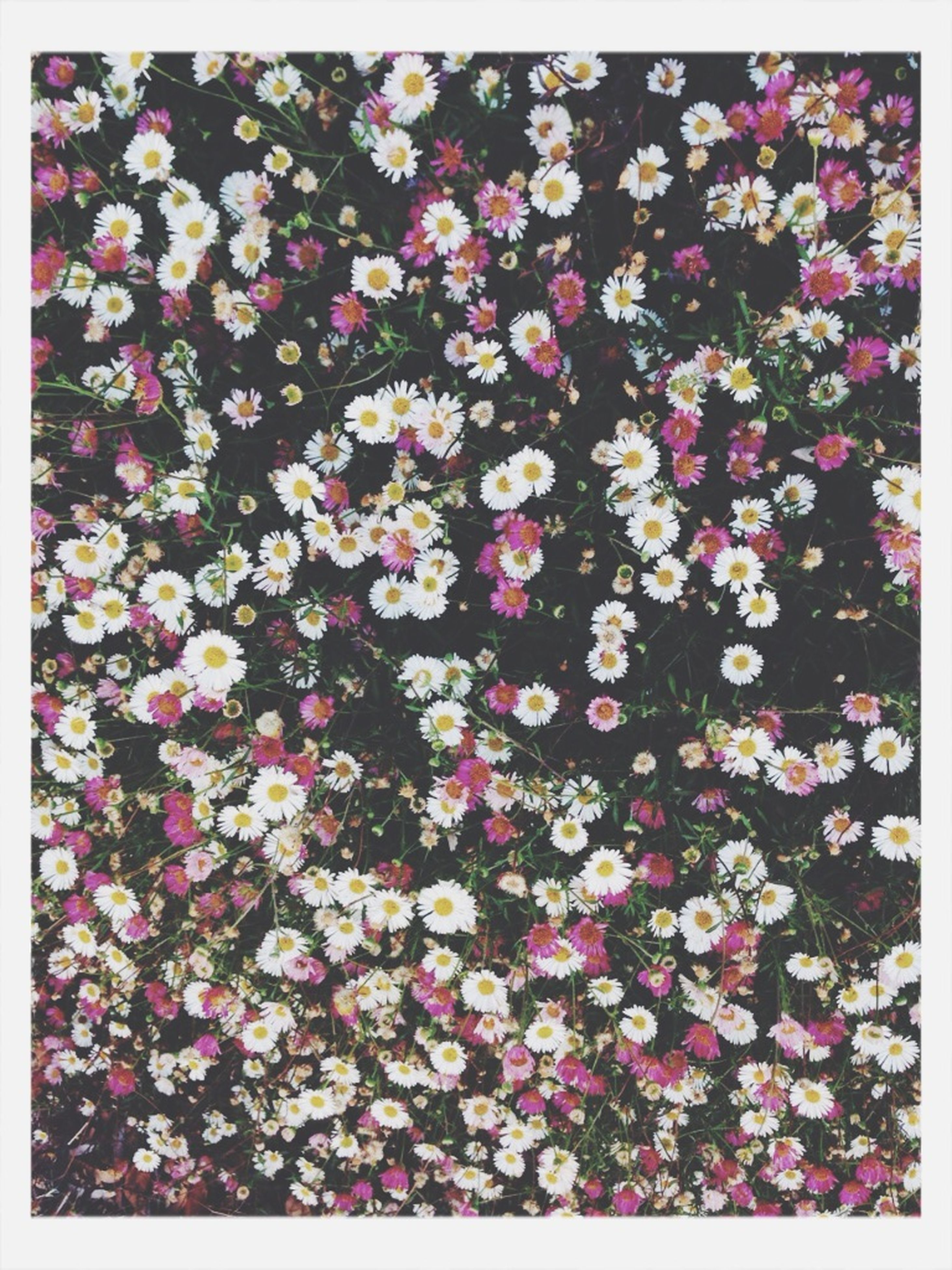 flower, transfer print, growth, auto post production filter, freshness, full frame, beauty in nature, fragility, nature, abundance, backgrounds, petal, plant, pink color, field, high angle view, outdoors, blooming, day, blossom