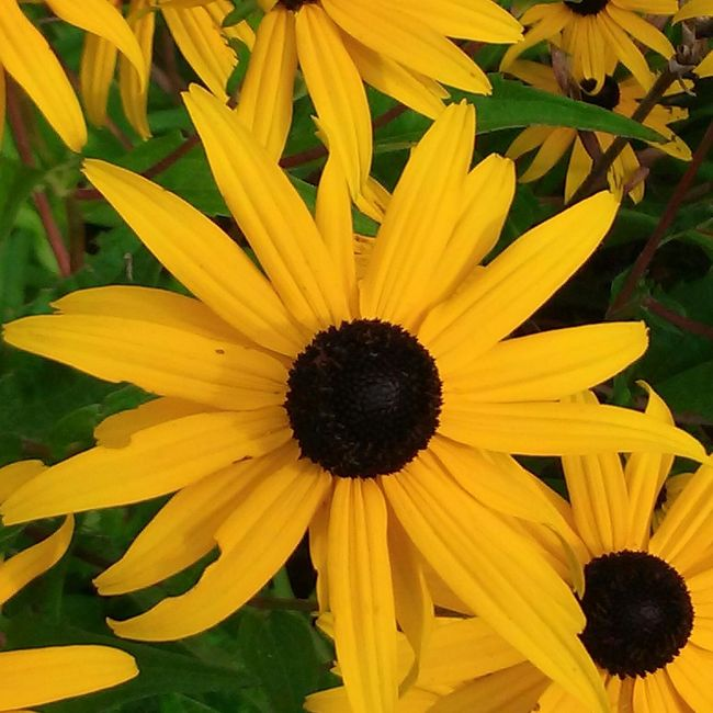 Blackeyed Susans Flowers,Plants & Garden Delicate Beauty Flower Photography No Edits No Filters Taking Photos Maine Relaxing