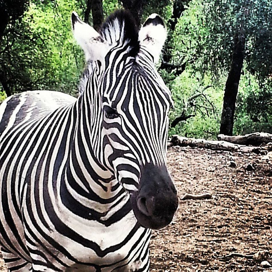 Very serious staredown occuring.... Zebra Sonoma Safariwest