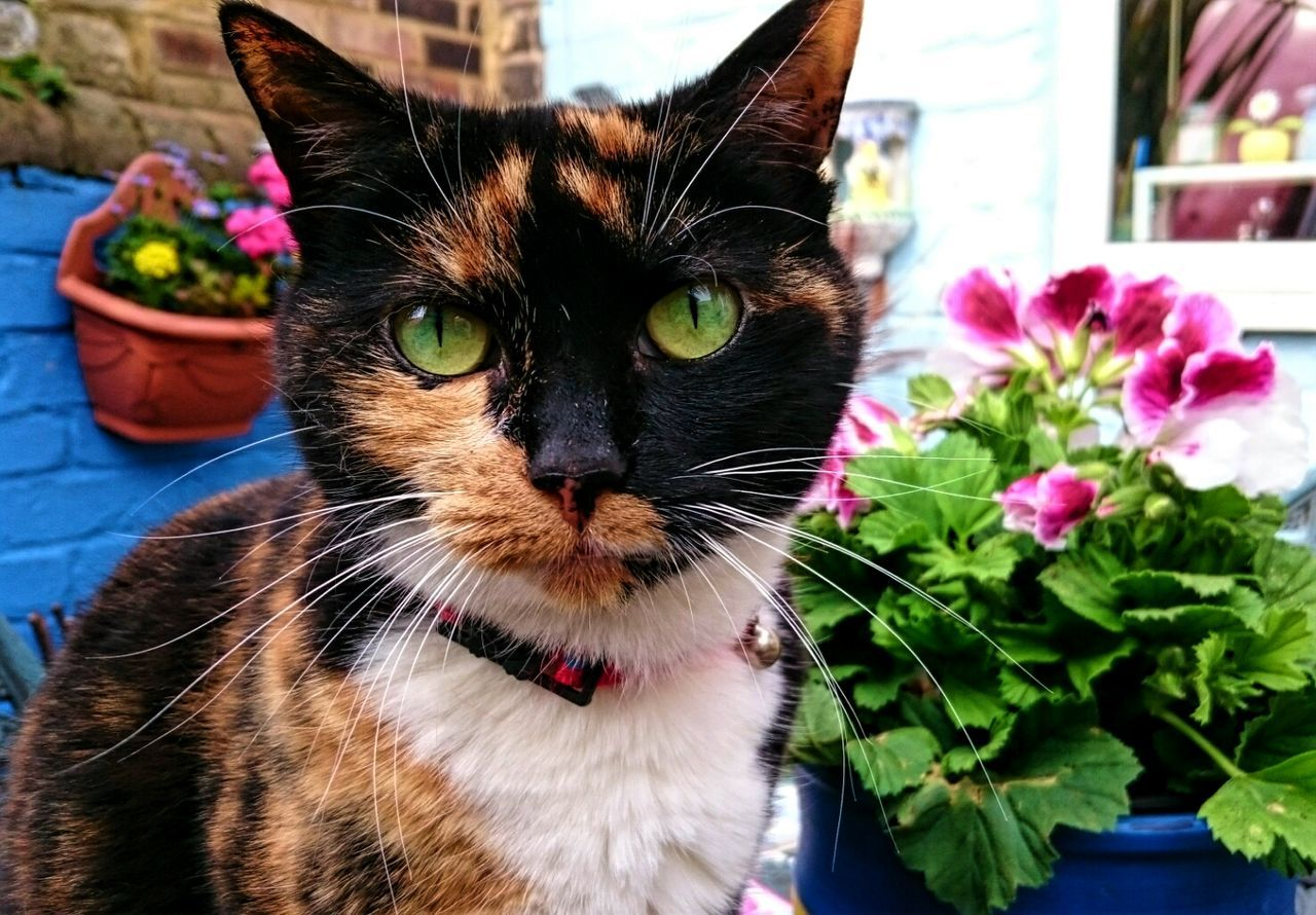 Sugar Plum Cats Cats Of EyeEm Tortoiseshell Cat Queen Cat Pretty Cat Alertness Green Eyes Pets