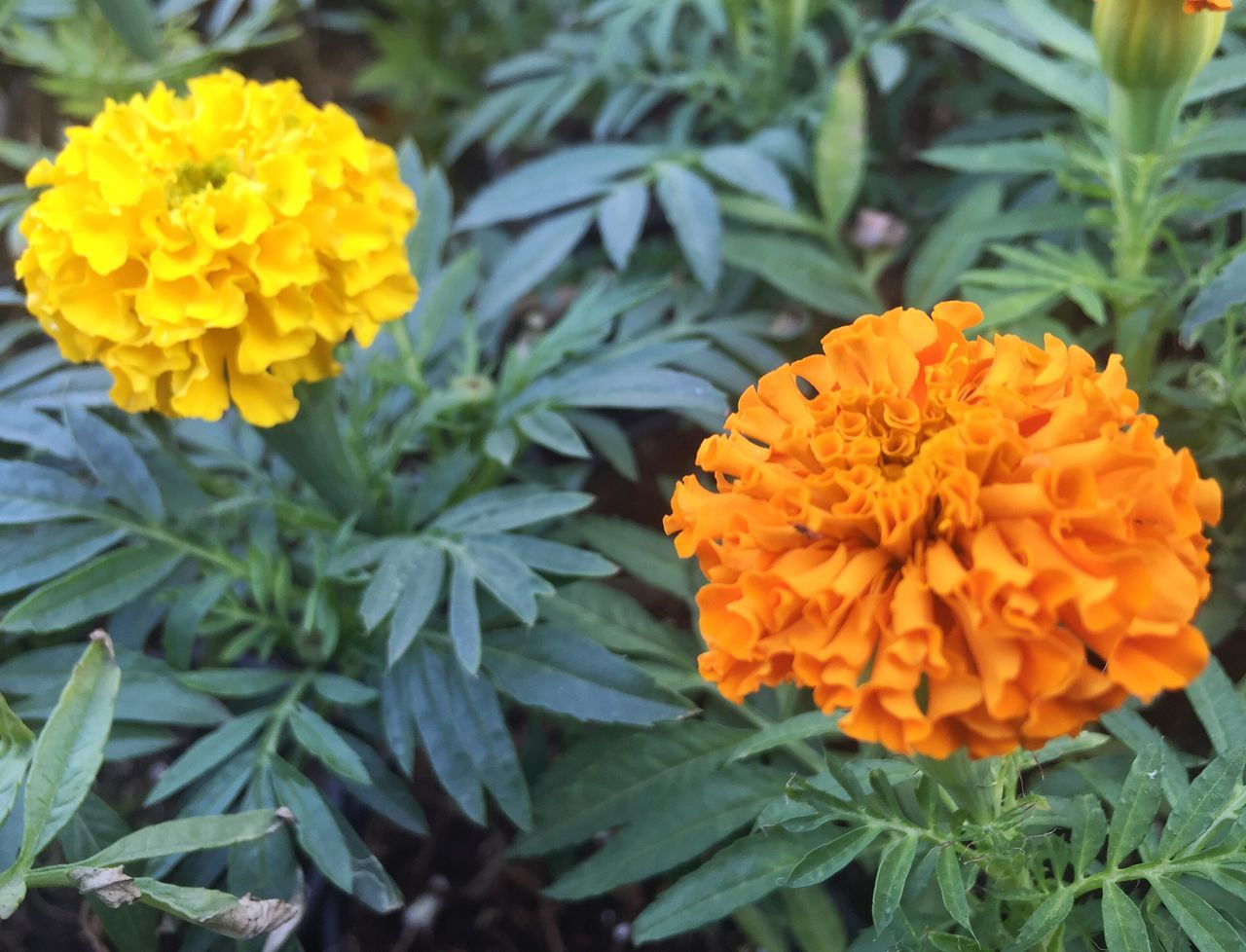 flower, freshness, fragility, beauty in nature, yellow, marigold, orange color, petal, growth, nature, leaf, plant, green color, no people, close-up, flower head, day, outdoors, blooming