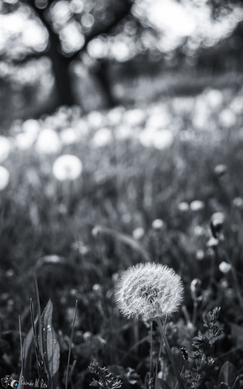 growth, nature, fragility, flower, plant, beauty in nature, field, outdoors, freshness, day, no people, uncultivated, tranquility, focus on foreground, grass, flower head, close-up