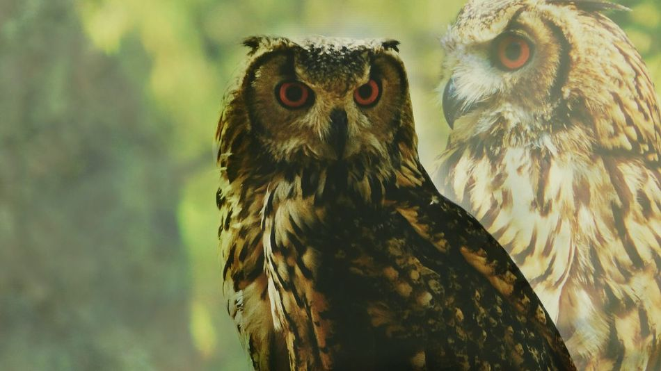 Artistic Edit Artistic Photo Photo Editing Edited By Me Colage Of Photos Animal Wildlife Bird Bird Of Prey Owl Animals In The Wild No People Looking At Camera Close-up Day Outdoors Nature Animal Themes Portrait Colagemdigital Nature_ Collection  Blurred Background Focus On Details