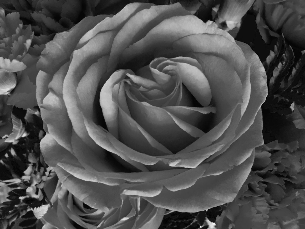 B & White Rose. Flower Petal Beauty In Nature Delicate Beauty Nature EyeEm Team Freshness Rose - Flower Growth Close-up Background Wallpaper Elegance Everywhere Eye4photography  Backgrounds Blackandwhite Black And White Roses Taking Photos Beauty In Nature Floral This Week On Eyeem Things I Like Seeing The World Differently Monochrome
