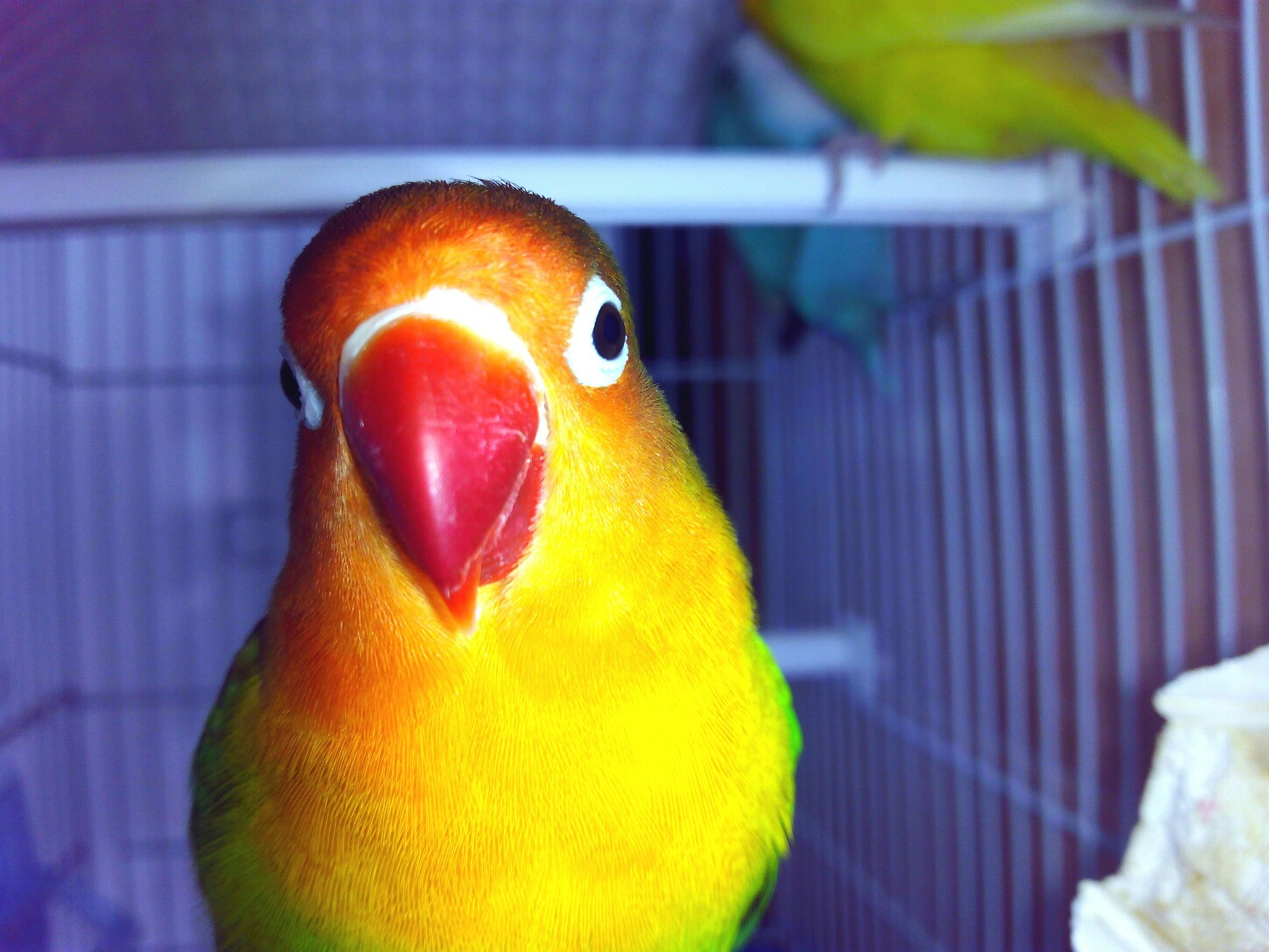indoors, close-up, one animal, animal themes, parrot, bird, yellow, animal head, beak, multi colored, focus on foreground, no people, animal body part, wildlife, still life, animal eye, vibrant color, animals in the wild, orange color, animal representation