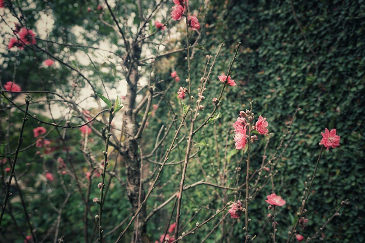 Sự Sống Hoa đào Tết
