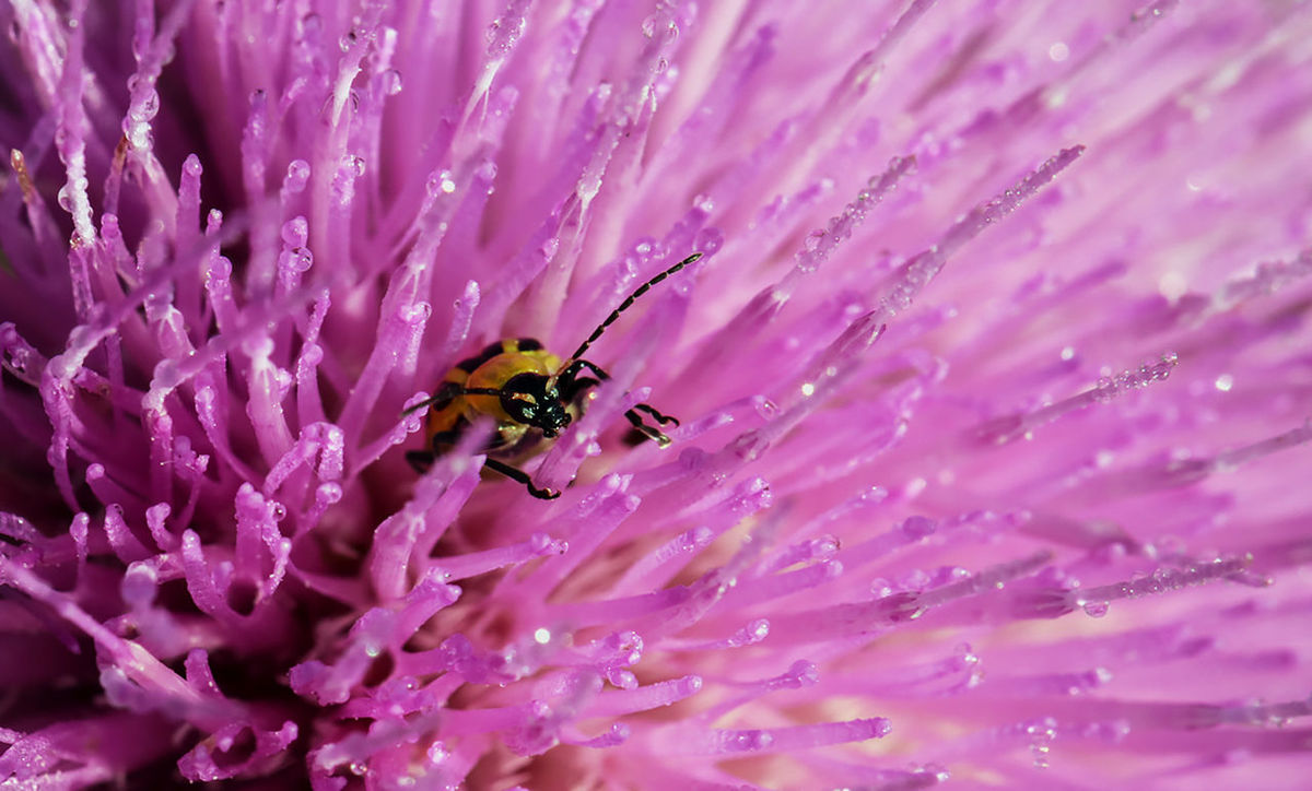 Found this little one in the thistle flower cleaning off the dew. Macro Beauty Macro Insects Macro Photography Beauty In Nature Close-up Dew Drops Flower Freshness Insect Looks Angry Macro Nature Macro Week Macro World Macro_captures Macro_collection Macro_perfection Macroclique Nature Outdoors Petal Pink Color Pinks And Purples Purple Sc2creations Thistle Flower