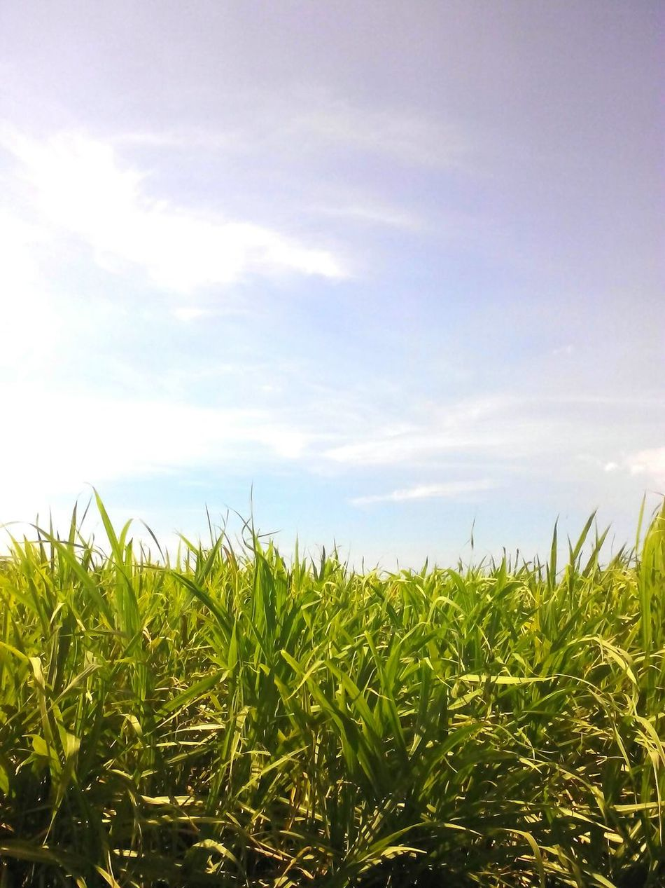 just driving through Sky Sugarcane Sweet View Clouds And Sky Blue Sky Plantation Calm Green Nature Nature Beauty The Great Outdoors - 2016 EyeEm Awards Mobilephotography Essence Of Summer