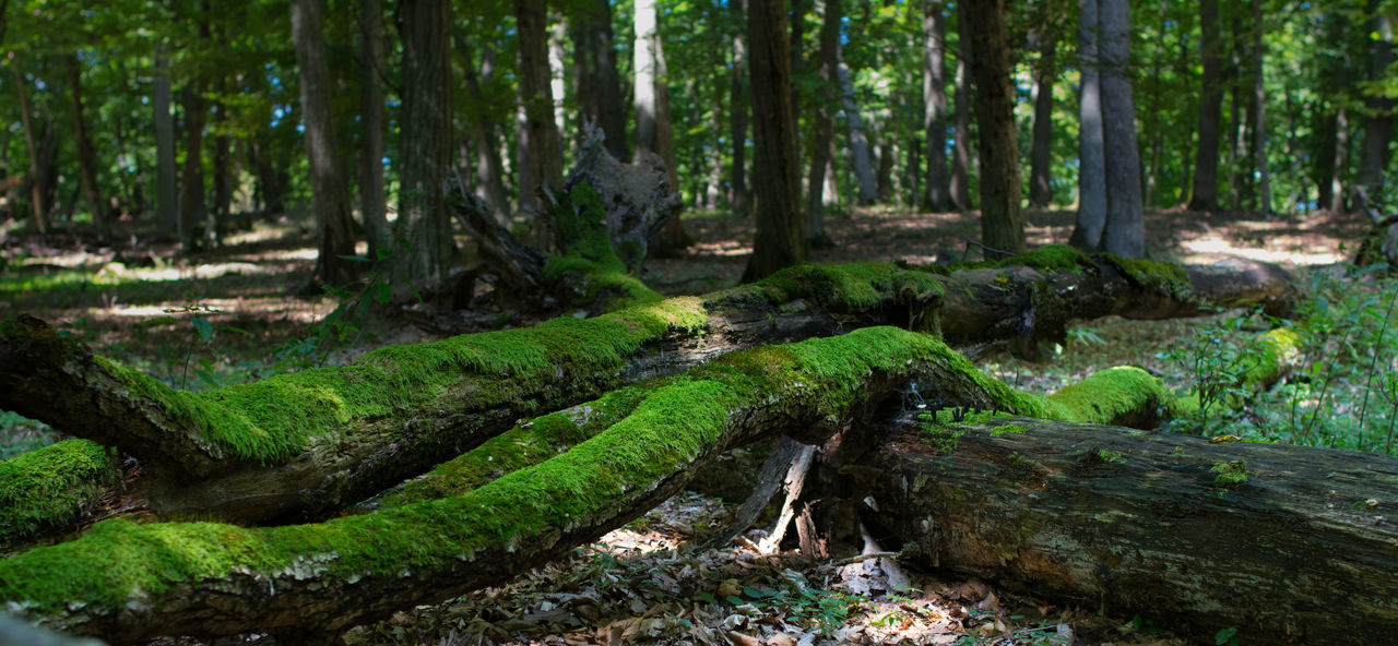 Virgin forest Beauty In Nature Day Forest Green Color Landscape Moss Nature No People Outdoors Panorama Plant Silence Tranquil Scene Tranquility Tree Tree Area Tree Trunk WoodLand