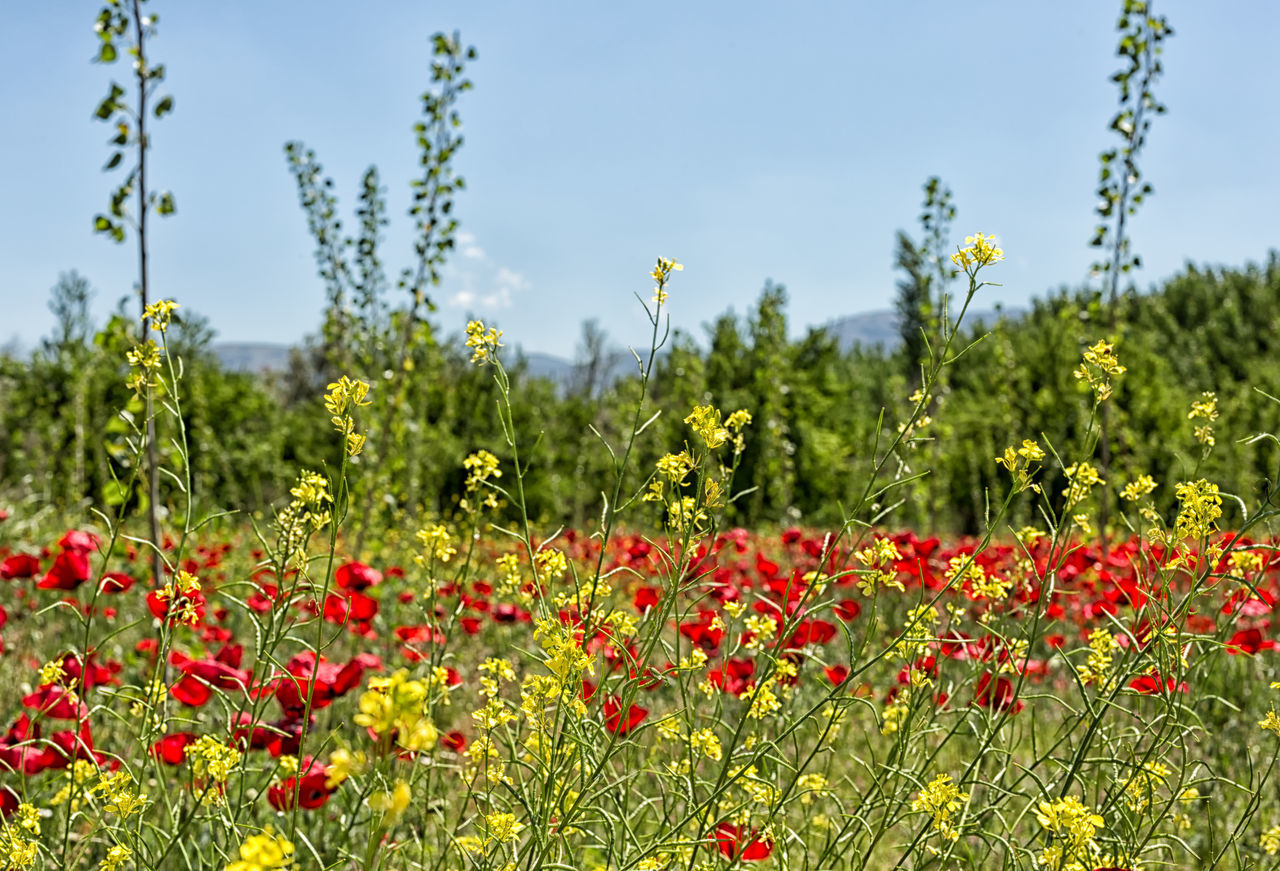 Wildflower Fields Background Beauty In Nature Blooming Field Flower Flower Head Fragility Freshness Green Color Mut Nature Outdoors Petal Plant Poppy Red Springtime Summer Tranquility Tree Turkey Wildflowers Yellow
