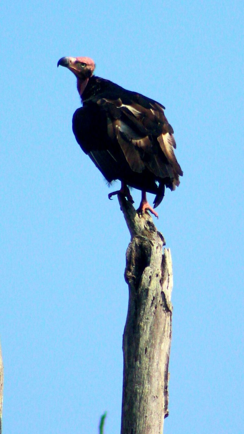 Vulture Wildlife_perfection Bird Photography Wildlife & Nature Vulture God Bandipur :)