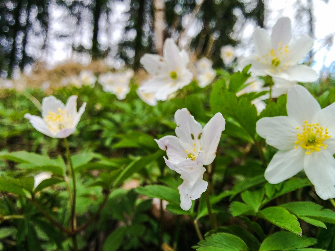 Wood Anemone Landscape Spring Nature