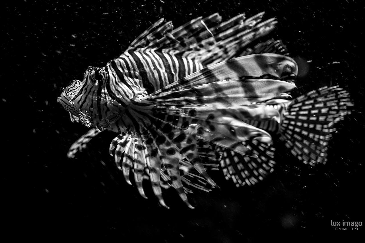 Bnw_friday_eyeemchallenge There Be Dragons Lionfish Blackandwhite Underwater Aquarium Eye4photography  EyeEm Nature Lover EyeEm Best Shots Eye4black&white