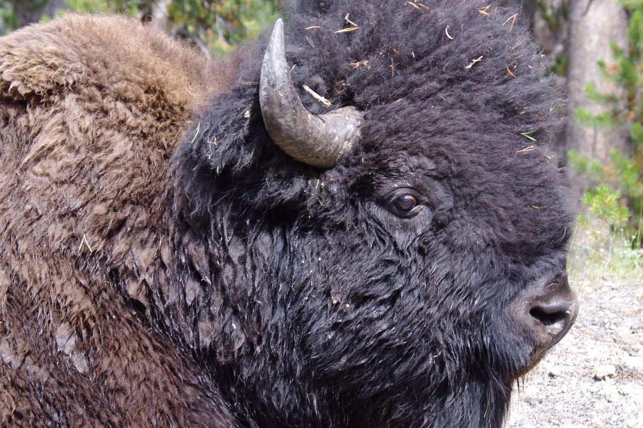 I turned around and he was standing right behind me Animal Themes Animals In The Wild Nature American Bison Animal Wildlife Wild Wildlife Wildlife & Nature Wildlife Photography Bison