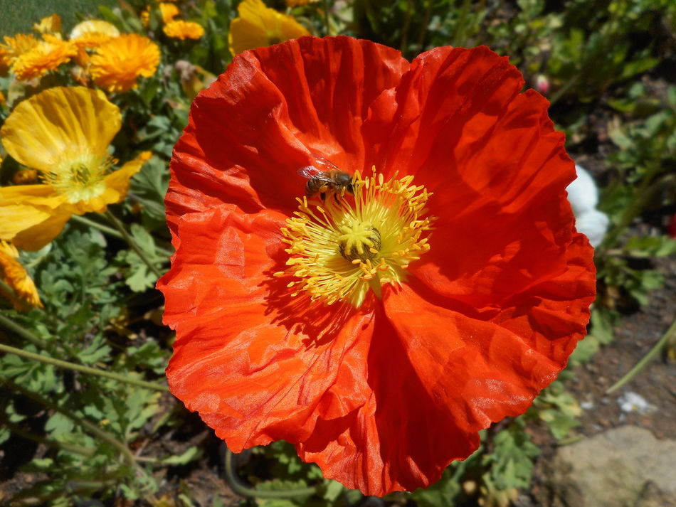 Poppy and bee Beauty In Nature Bee Bee On Flower Bee On The Flower Blooming Bright Sunshine Close-up Day Flower Flower Head Fragility Gathering Pollen Growth Insect Nature No People Orange Color Orange Flower Orange Flowers Outdoors Petal Plant Poppy The Purist (no Edit, No Filter) Yellow Centered Flowers