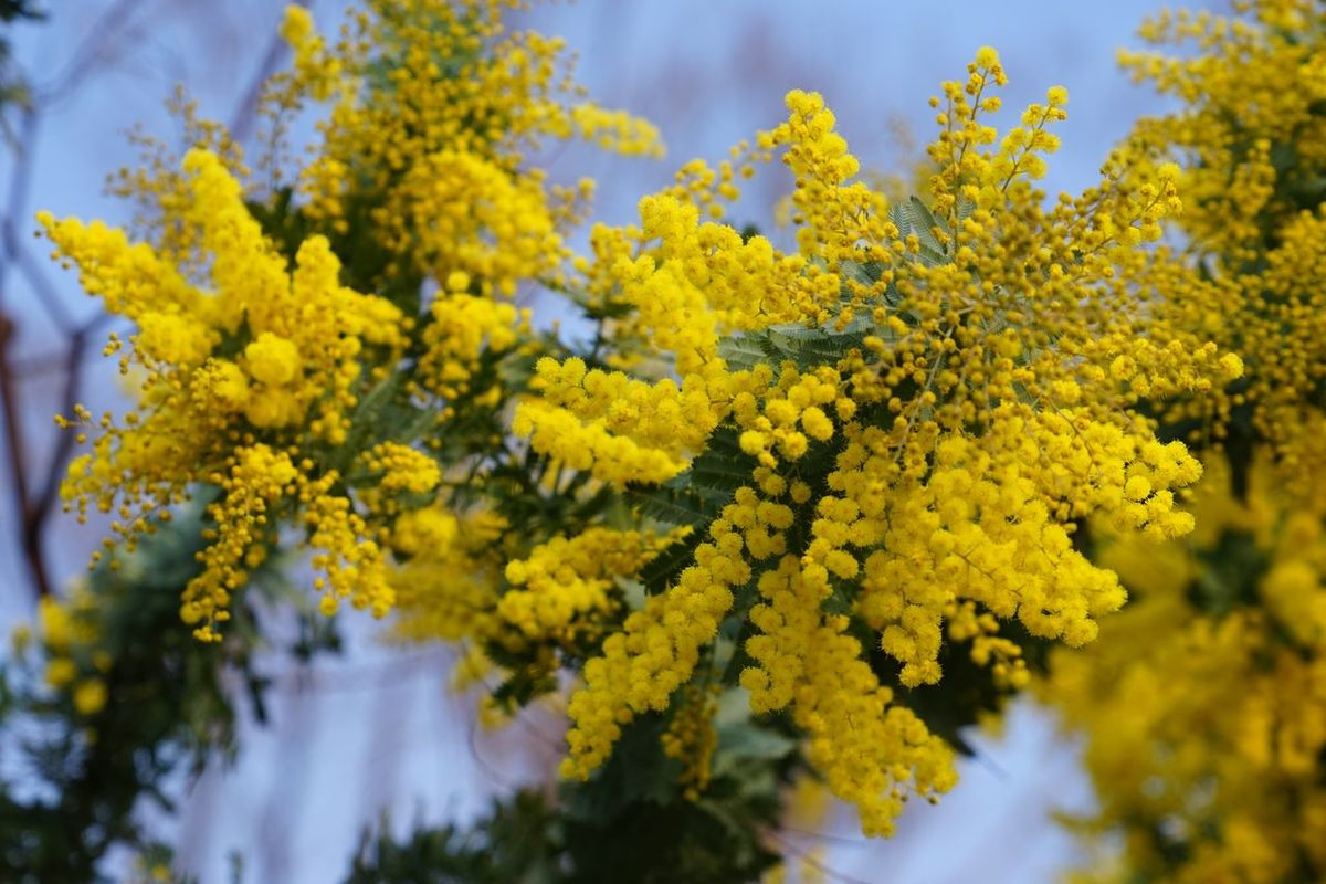 Mimosa Spring Flowers Yellow Yellow Color Spring Flowers Park EyeEm Flower ミモザ
