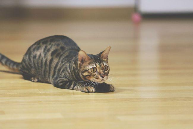 Cat Bengal Cat on the Floor