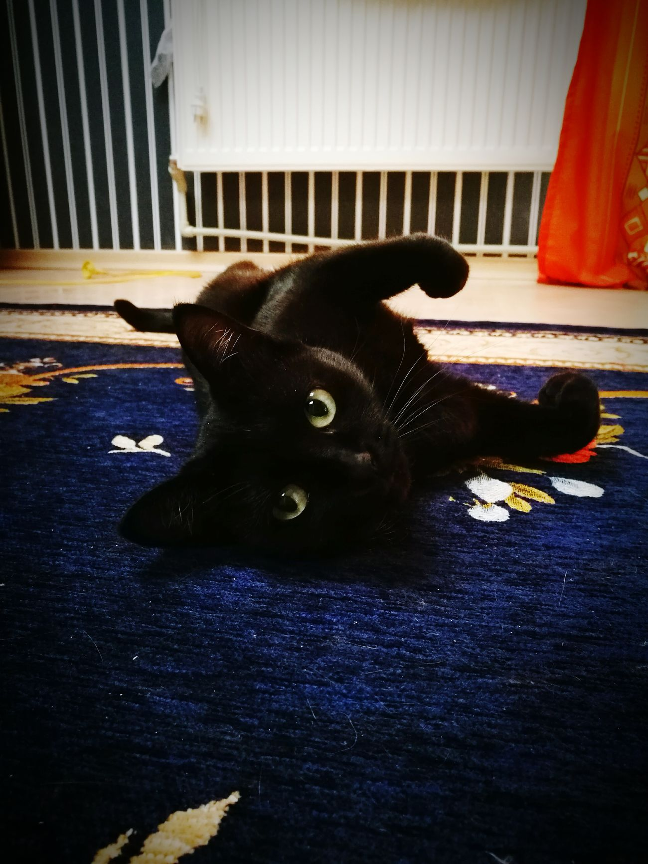 Pets One Animal No People Animal Themes Indoors  Black Cats Are Beautiful