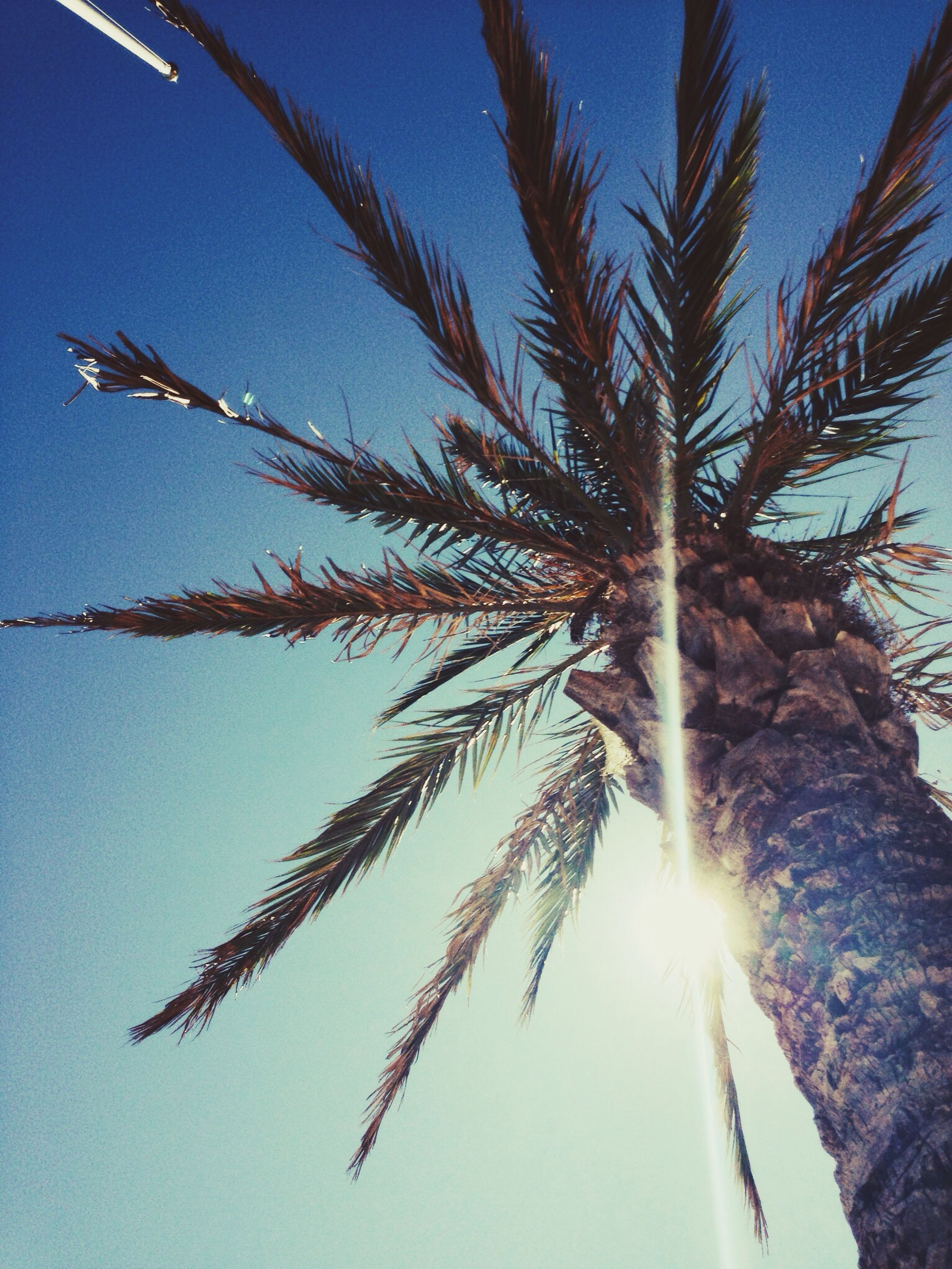 low angle view, clear sky, growth, sun, sunlight, tree, nature, sky, blue, beauty in nature, sunbeam, tranquility, branch, lens flare, outdoors, day, palm tree, no people, close-up, sunny