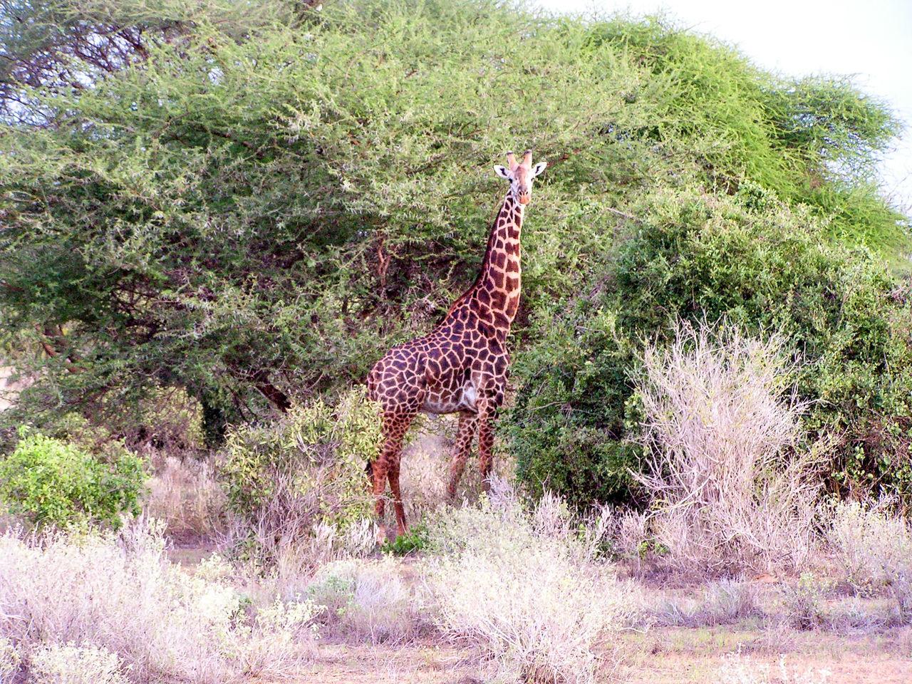 Africa Animal Themes Giraffe Giraffes Giraffe♥ Kenia Mammal Nature Outdoors Park Plant Tree Wildlife