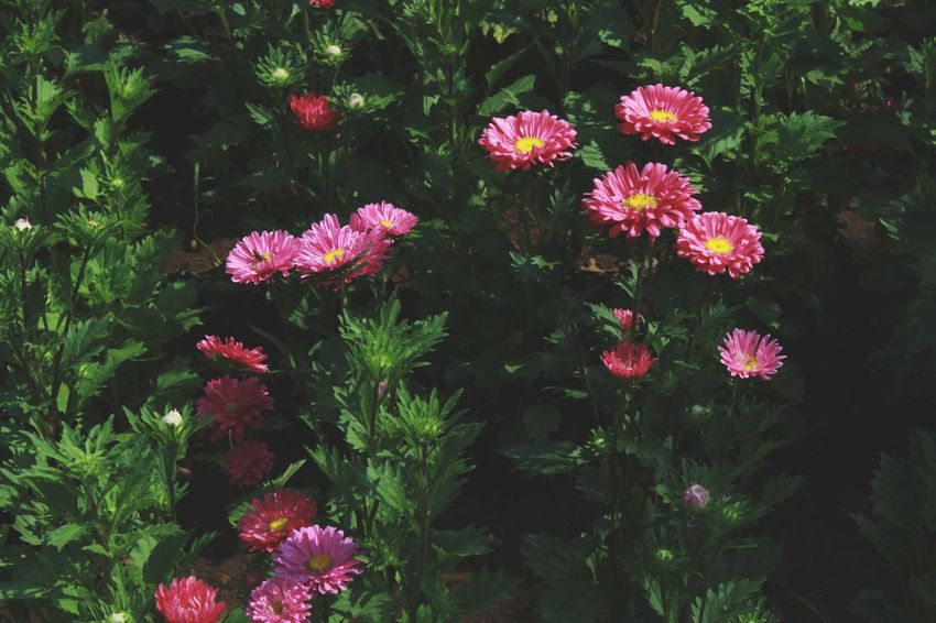 Flower Growth Outdoors Freshness Beauty In Nature Pink Color No People Nature Fragility Red Day Photography Summer Leaf Beauty In Nature Freshness Flower Head Nature Plant People Close-up Be. Ready.