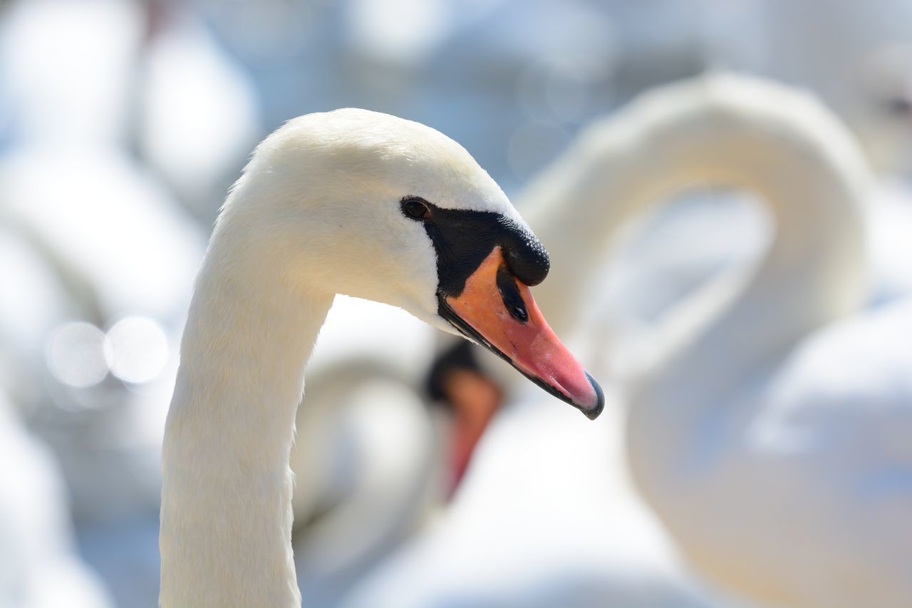 Animal Themes Animal Wildlife Animals In The Wild Beauty In Nature Bird Birds Check This Out Close-up Day Eye4photography  EyeEm Best Shots EyeEm Gallery EyeEm Nature Lover Focus On Foreground Headshot Nature Nature Photography Nature_collection No People Outdoors Selective Focus Swan Taking Photos White Wildlife