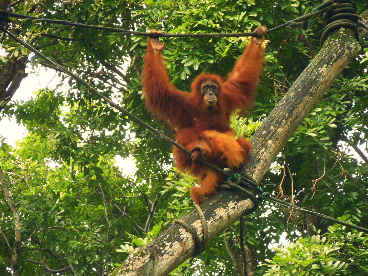 Animal Themes Animal Wildlife Animals In The Wild Baby Orangutan Hang In There Low Angle View Mammal Monkey Orangutan Pongo Pygmaeus Primate Singapore Zoological Garden Tropical Forest Young Animal