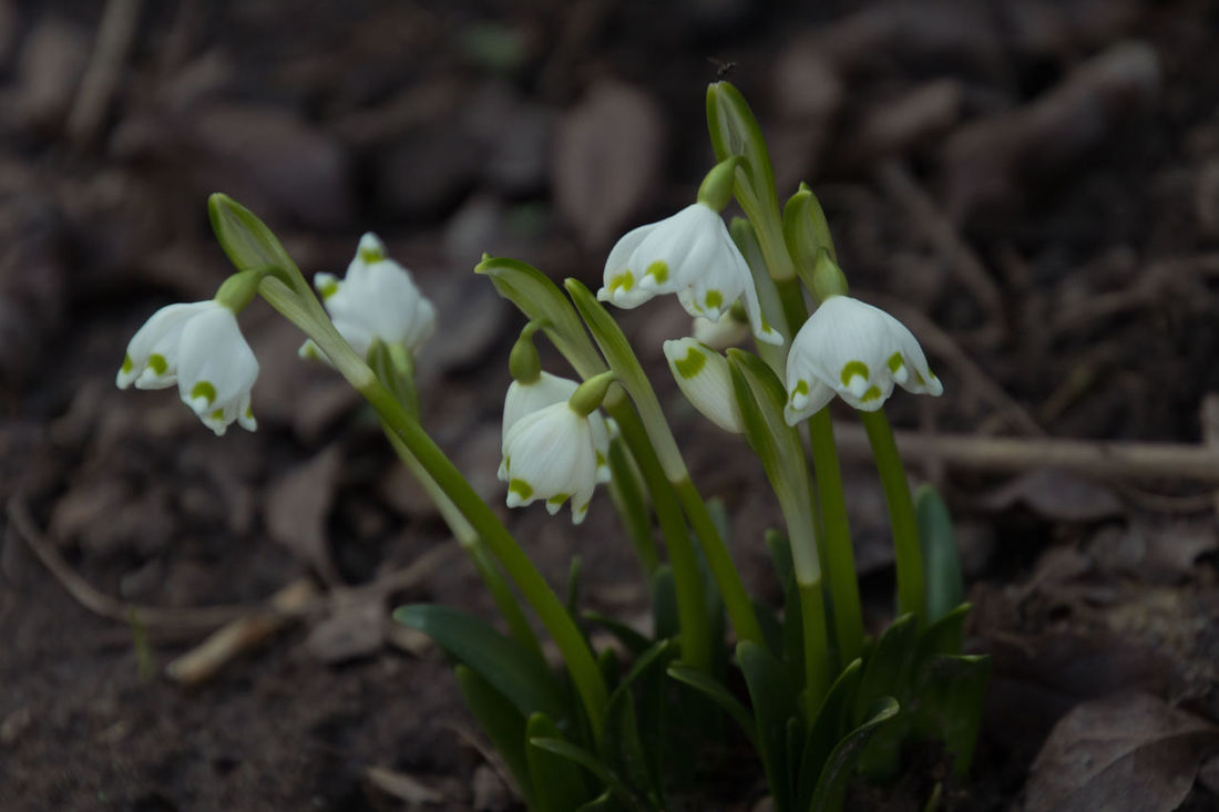 The big snowdrops sprout from the earth - Die Märzenbecher sprießen aus der Erde Beauty In Nature Blooming Close-up Day Flower Flower Collection Flower Head Flower Photography Focus On Foreground Fragility Freshness Frühlingsknotenblume Green Color Growth Leaf Leucojum Vernum Märzenbecher Nature No People Outdoors Petal Plant Snowdrop Springtime White Color