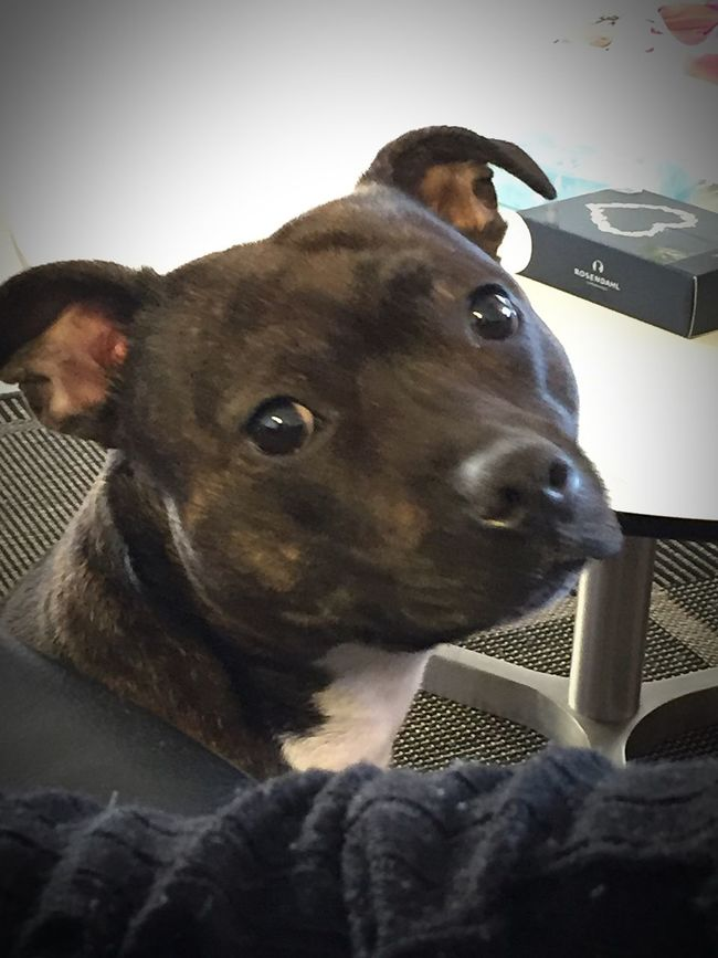 The greatest I have in my life 💜 Staffylove Lovemydog MyPrettyPrincess Lookatthatface Mydogiscoolerthanyourkids Myoneandonly Can't Live Without Staffordshire Bull Terrier Lovemybabydog Socute💕 Cute Pets Mybabydog