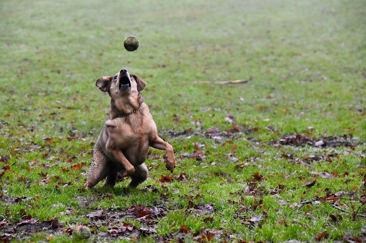 Dog Walking Dog with Ball Playtime Forestwalk Actionphotography Action Shot  Running Dog Dogslife