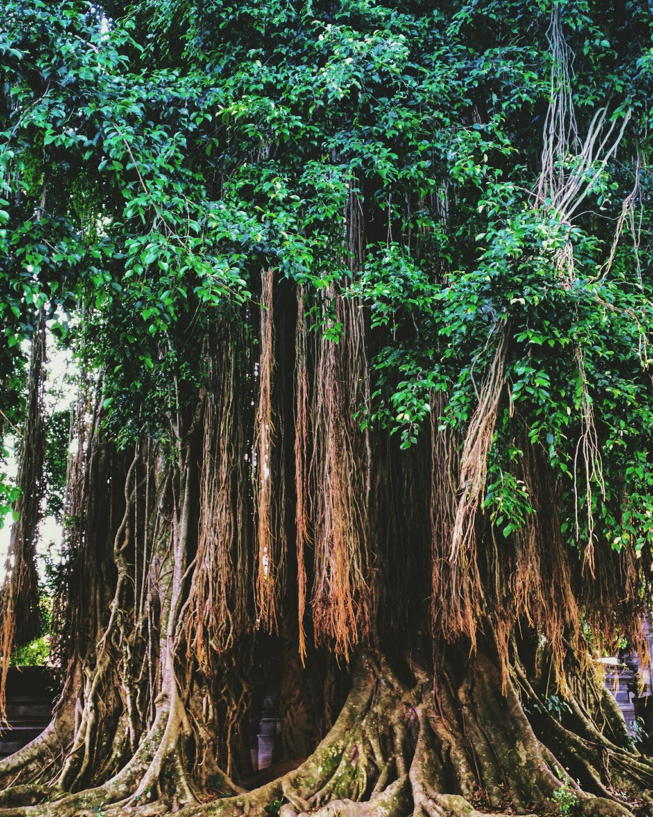 Tree Nature Green Color No People Beauty In Nature Outdoors Banyan Banyan Tree INDONESIA Roots Dreadlocks♥ TreePorn Holiday Throwbackthursday