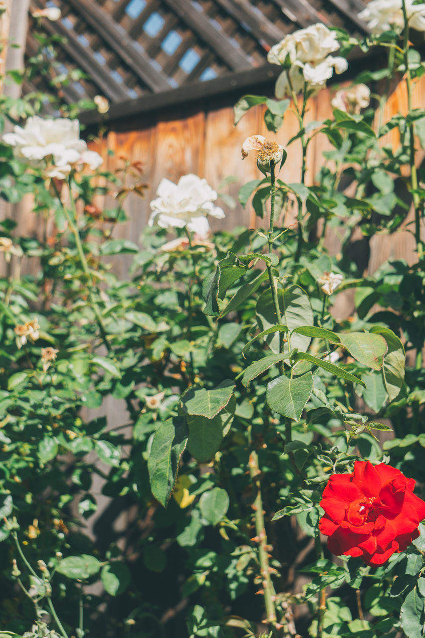 growth, flower, plant, green color, leaf, nature, no people, outdoors, beauty in nature, freshness, day, front or back yard, red, fragility, building exterior, blooming, tree, architecture, flower head, close-up