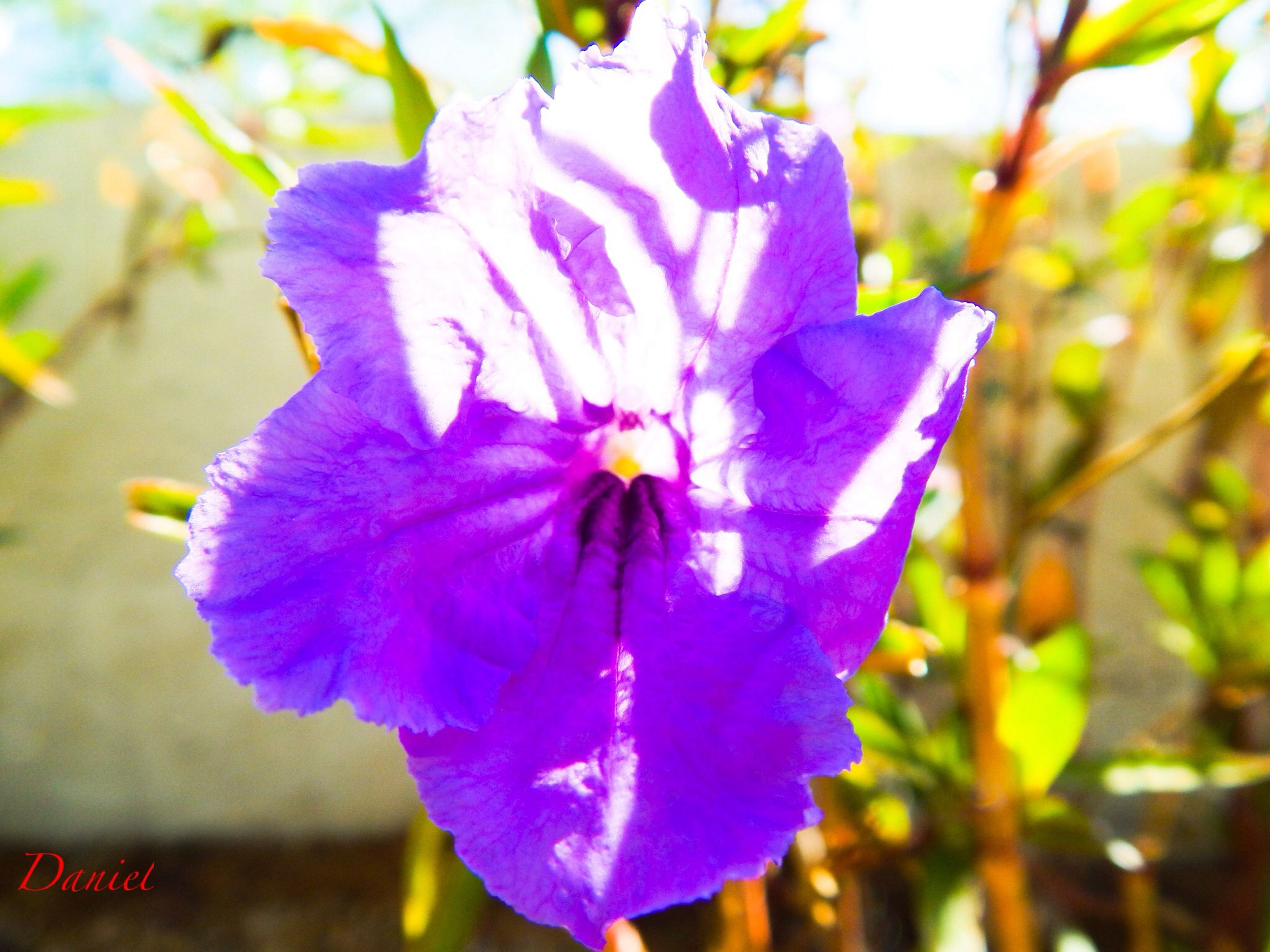 flower, petal, purple, flower head, freshness, fragility, close-up, growth, single flower, beauty in nature, focus on foreground, blooming, nature, in bloom, stamen, pollen, blossom, plant, park - man made space, outdoors