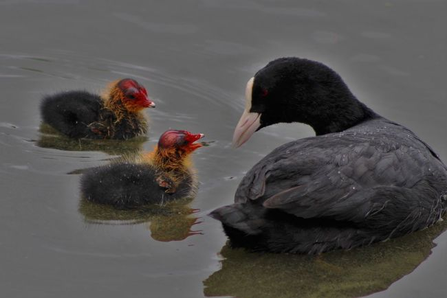 Beauty In Nature Black Color Close-up Coot With Cooties Day Focus On Foreground Lake Nature No People Outdoors Rippled Tranquility Water
