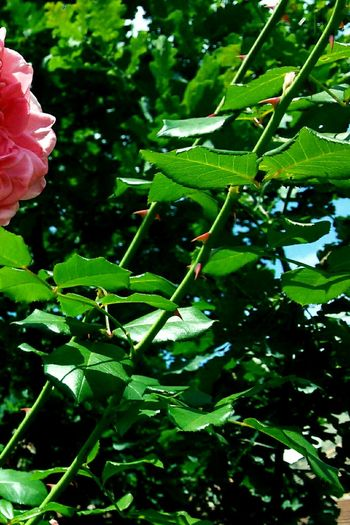 Green Color Growth Leaf Nature Plant Outdoors No People Close-up Day Beauty In Nature Freshness Passion Multi Colored Pink Color Peony  Beauty In Nature Rose - Flower Nature Plant Fragility Sky Petal Freshness Green Color Indoors