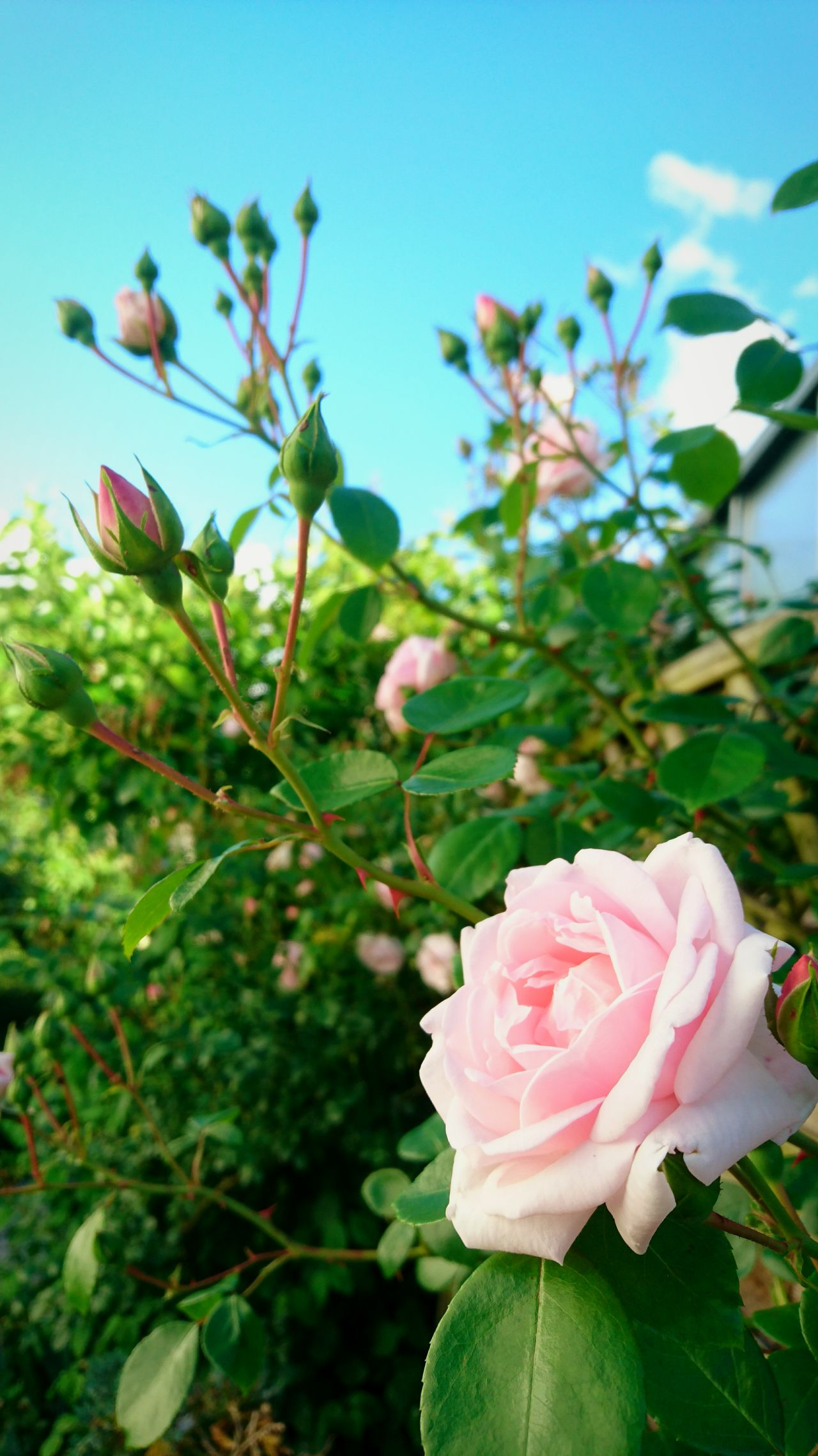 Roses Roses Flowers  Roses🌹 Nature Nature Photography EyeEm Nature Lover EyeEm Best Shots - Nature EyeEm Flower Eyeem Collection Taking Photos Check This Out Macro Flowers EyeEm Best Shots - Flowers Flowers, Nature And Beauty Eyeem PhotographyTaking Photos