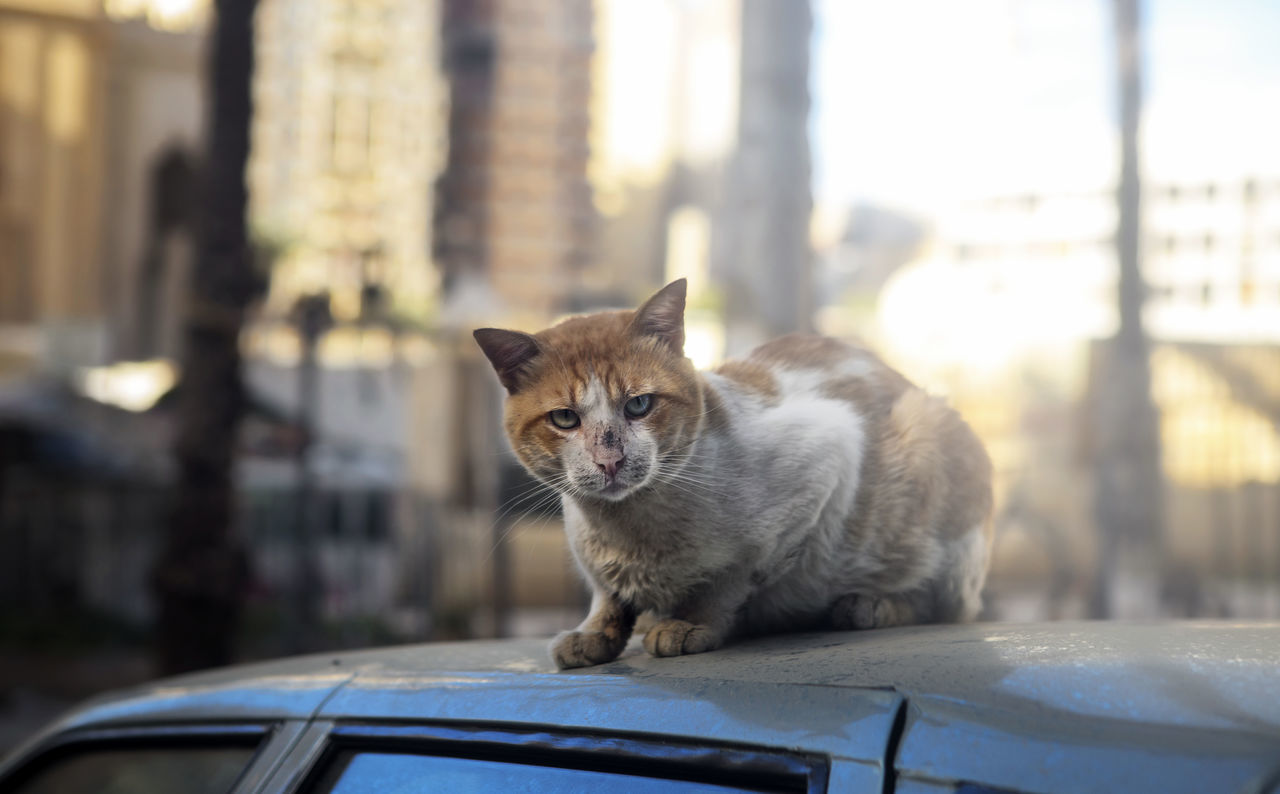 Cat On Car Cats Of Egypt Dirty Street Cat Domestic Cat Egyptian Cat Egyptian Cats One Animal Street Cat Street Cat In Alexandria Street Cat In Alexandria,Egypt Street Cat Of Alexandria,egypt Street Cat On Car Street Cats Street Cats In Alexandria Street Cats In Alexandria,Egypt Demonic Stare Demonic Look Cat On Car Roof