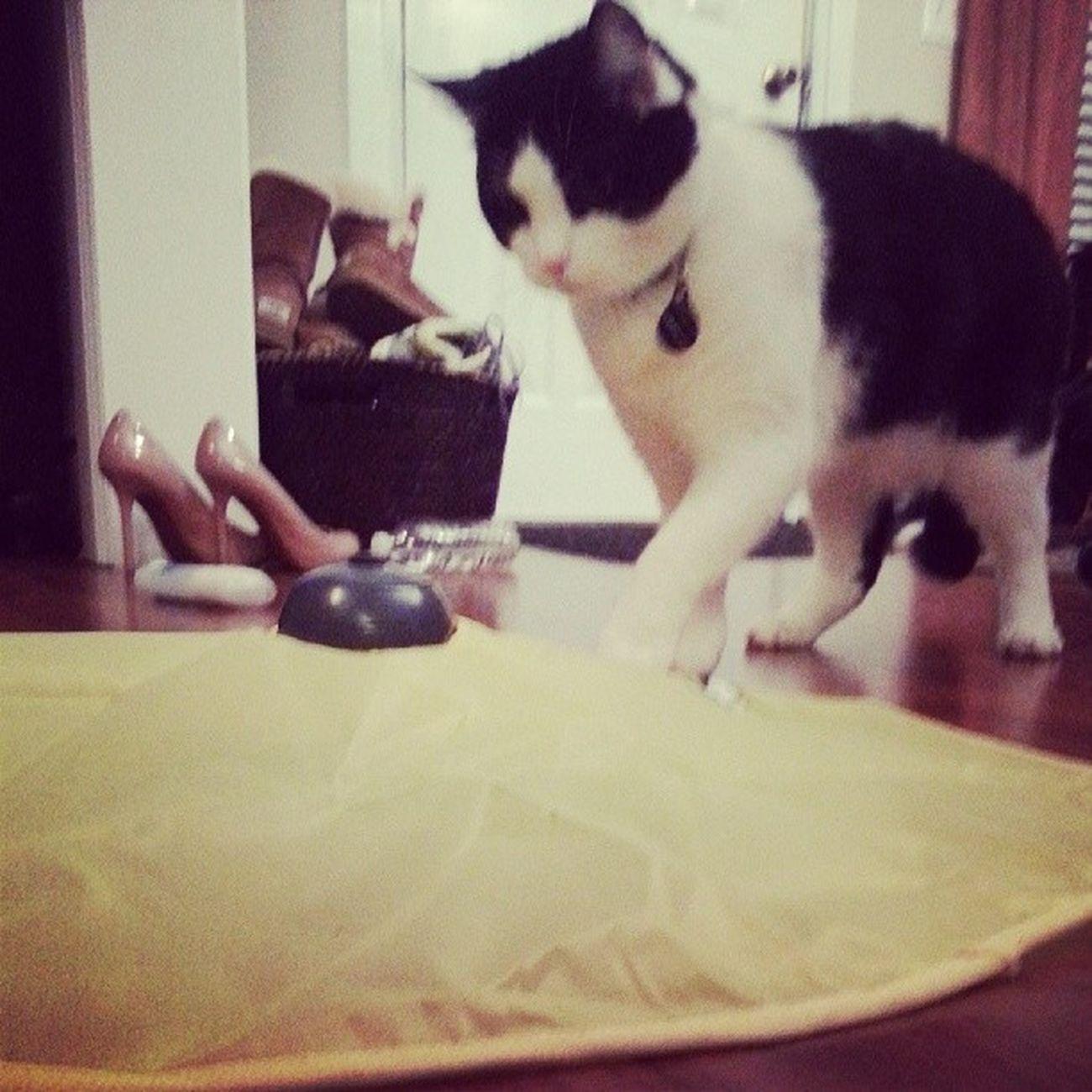 Richardthecat loves his new toy Catsmeow Catsofinstagram