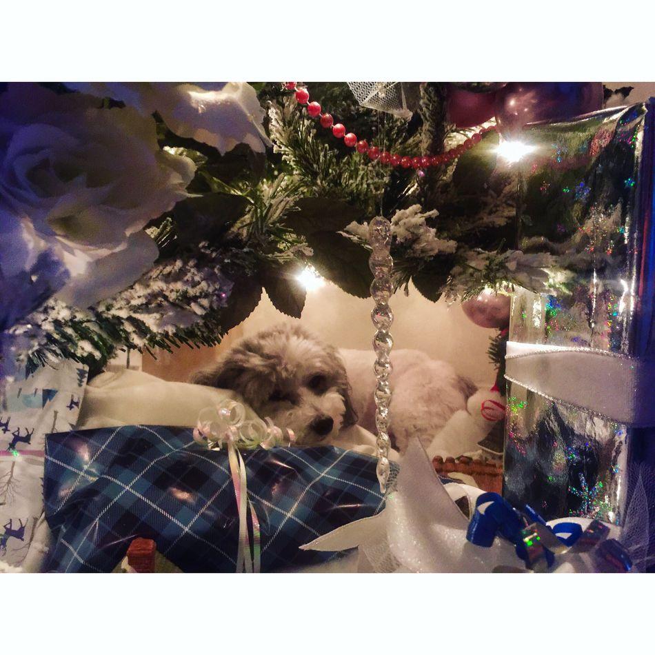 Christmas Itsadogslife Yorkiepoo Santa-arrived Loves_christmas Waiting To Open Presents Love This Picture. Tadaa Community Tadaa Pocket_family Tadaa Pets