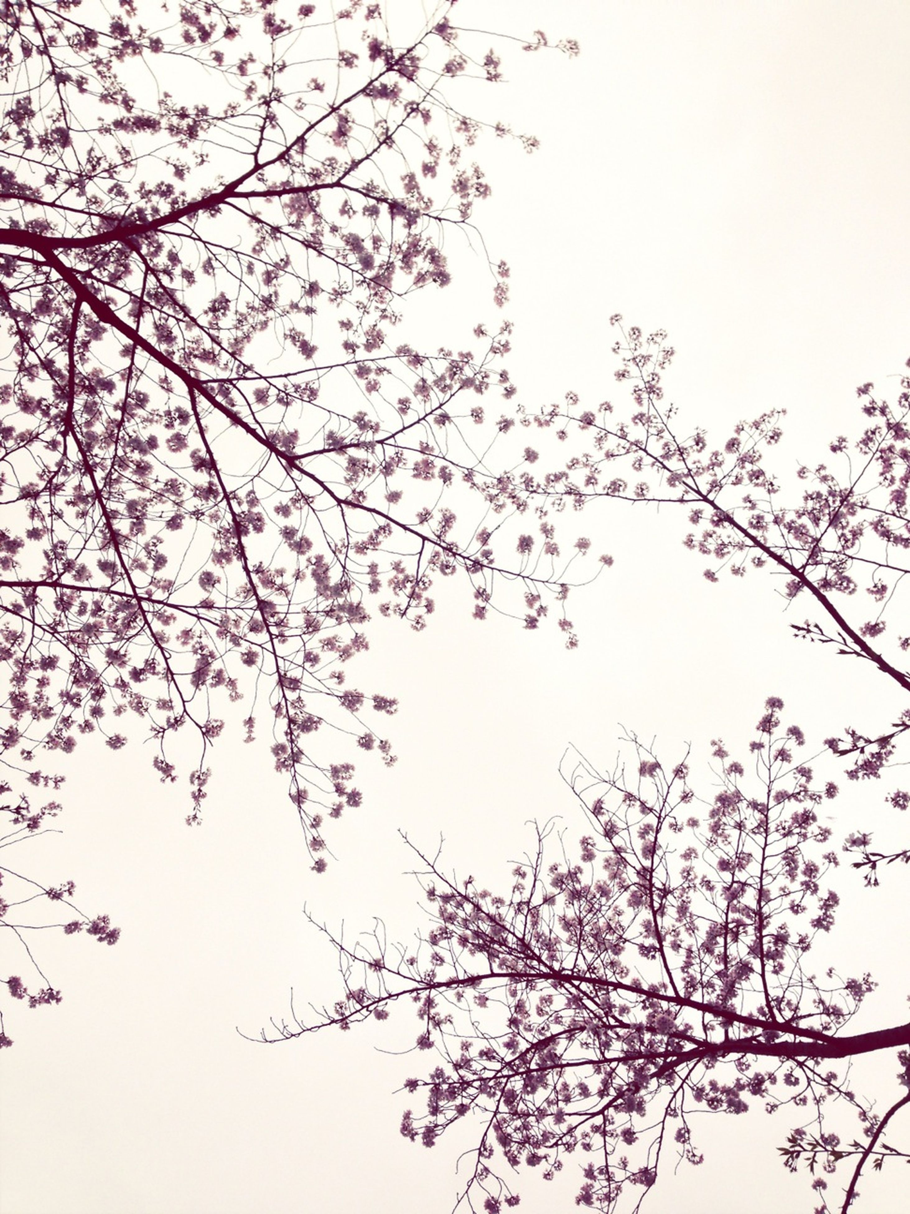 flower, low angle view, branch, tree, clear sky, growth, beauty in nature, freshness, nature, fragility, blossom, sky, pink color, blooming, day, outdoors, copy space, springtime, no people, in bloom