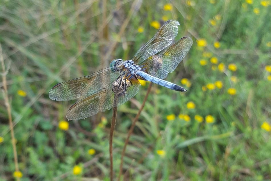Blue Dasher Dragonfly Nature Photography Dragonfly Dragonflies Blue Dasher Blue Dasher Dragonfly Nature_collection Natural Beauty Nature Photography Naturelovers Nature_perfection Nature_collection