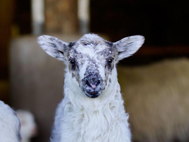 Easter Ready Lamb Lamm Schaf  Animals Tiere Sheep Photooftheday Eye4photography  Easter Lamb Osterlamm