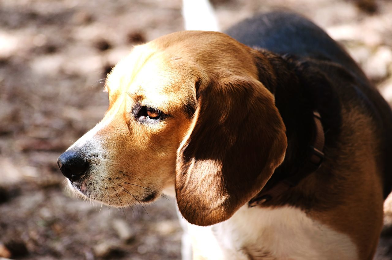 Summer Dogs Dog Light Dog Watching View Dog Head Day Daylight Ears Brown Eyes