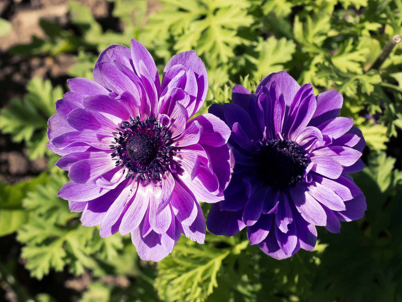 flower, petal, beauty in nature, purple, nature, fragility, growth, plant, flower head, no people, freshness, blooming, day, outdoors, osteospermum, close-up