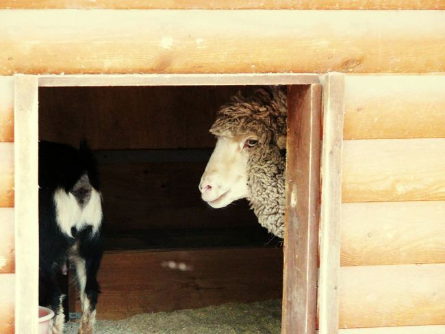 Taking Photos Elagin Island Eyeemphotography Photography EyeEm Nature Collection Saint Petersburg Nature Photography EyeEm Nature Lover Park May Russia Elagin Mini Zoo Spring Sheep Goat Animal