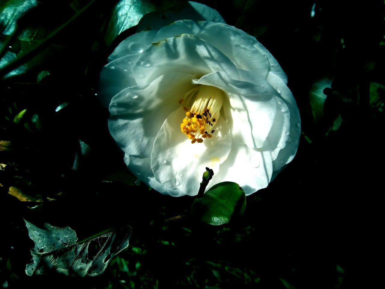 椿 Flower Camellia No People Plant first eyeem photo