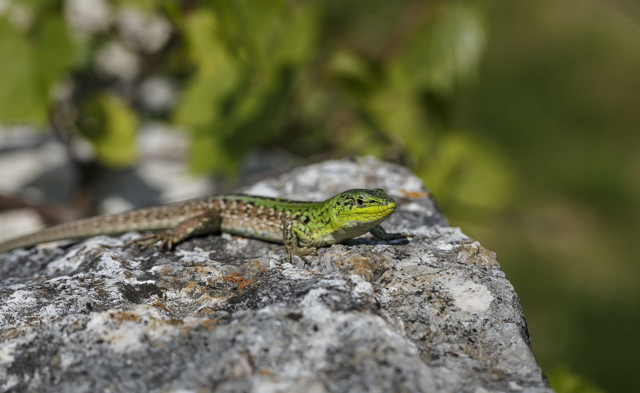 Lizard relaxing on a stone Animal Love Animal Photography Animal Wildlife Animals Animals In The Wild Animals In The Wild Chameleon Close-up Croatia Day Ecology Fauna Fauna And Flora Forest Green Color Lizard Lizard Lizard Nature Lizard Watching Lizards Nature One Animal Outdoors Reptile Stone