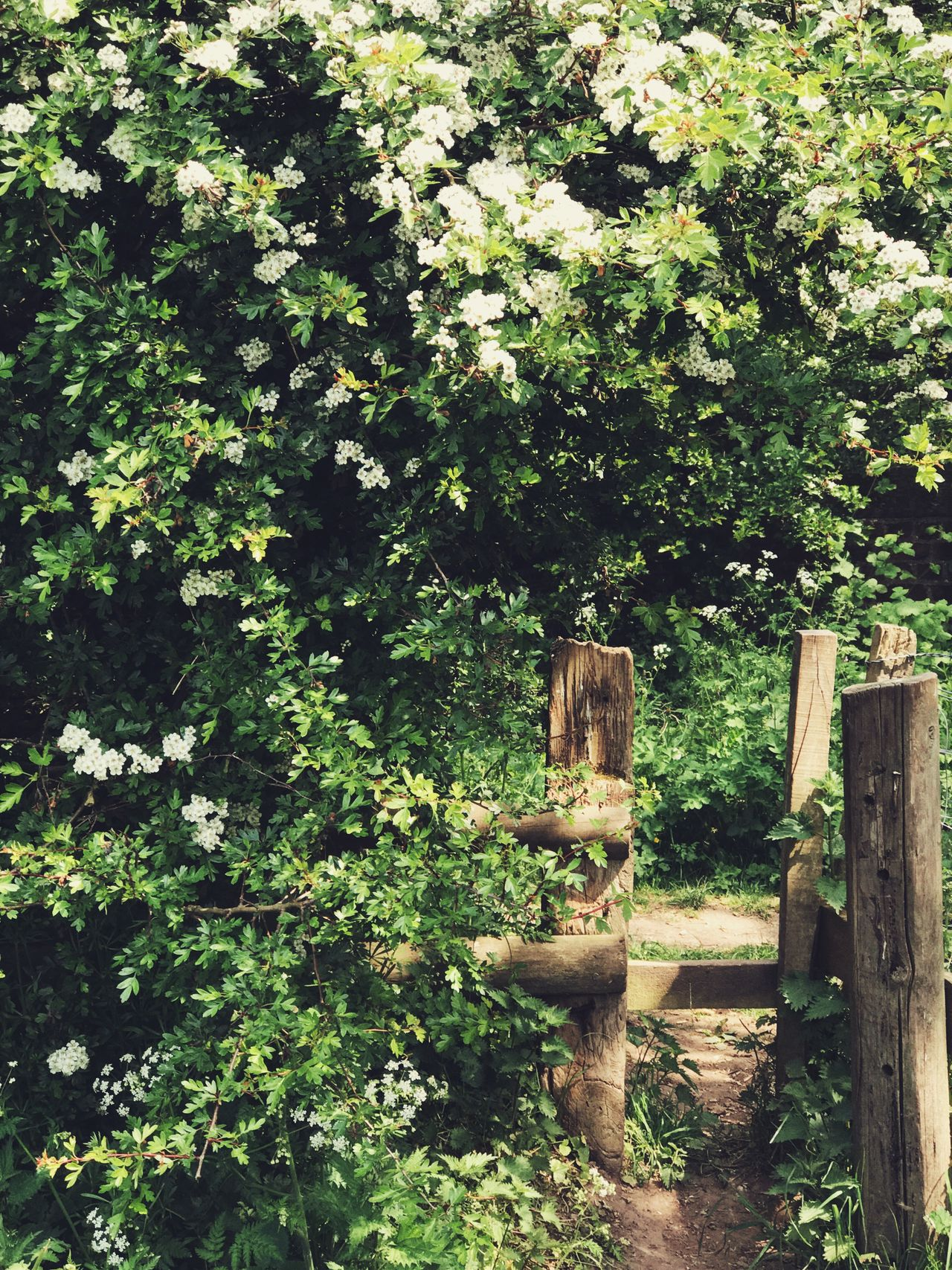 'Careful, you have to duck under the hawthorn as you step over stile.' Tree Nature No People Wood - Material Green Color Day Tranquility Growth Outdoors Beauty In Nature Stile Hawthorn Hawthorn Blossom